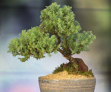 JUNIPER-BONSAI-TREE