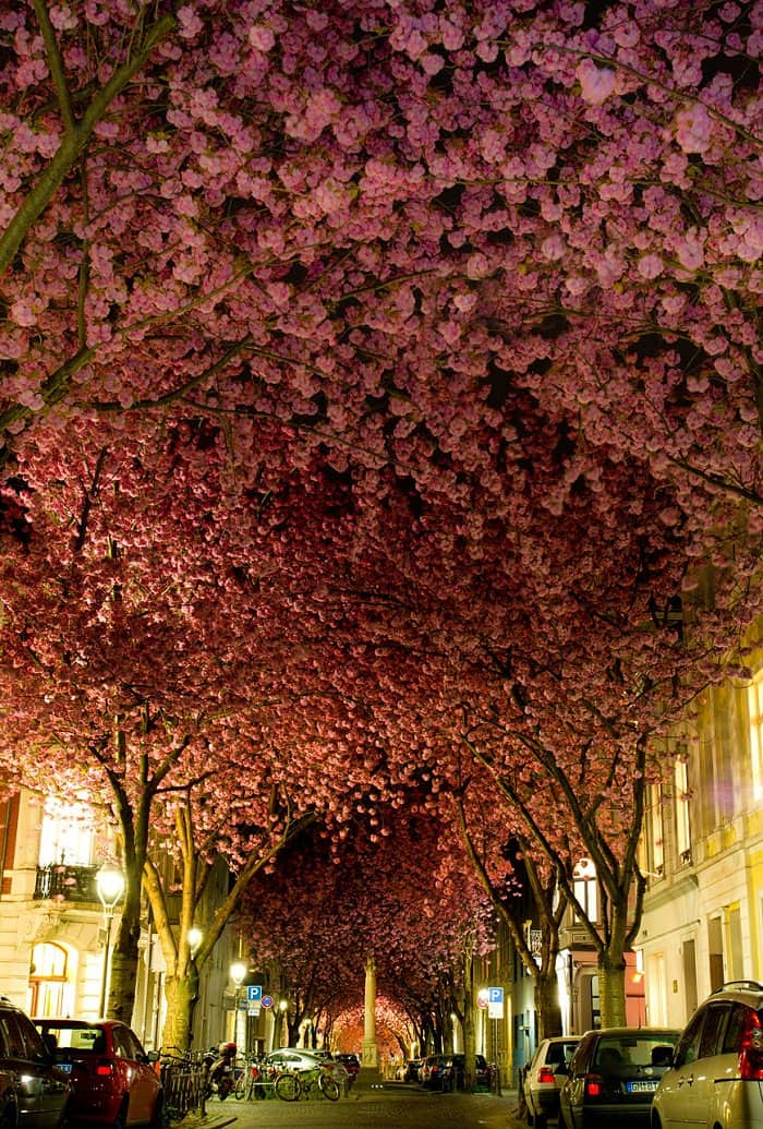 cherry trees surrounding a german street