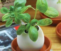 crack and grow basil egg