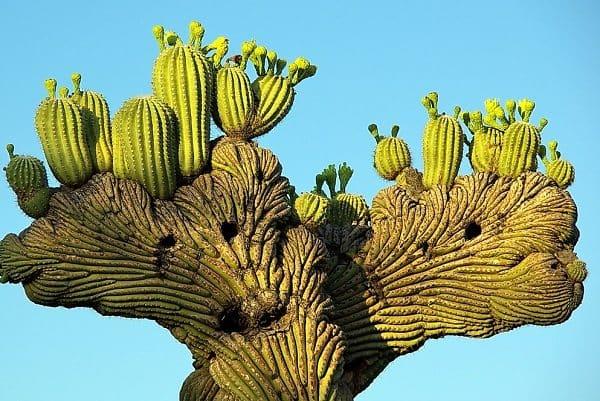 desert botanicalblue