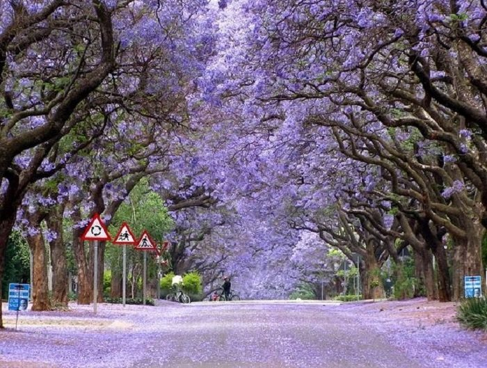 jacaranda trees surrounding road with fallen leaves
