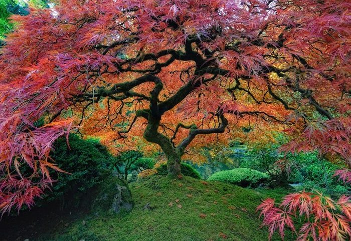 multicolored japanese maple tree