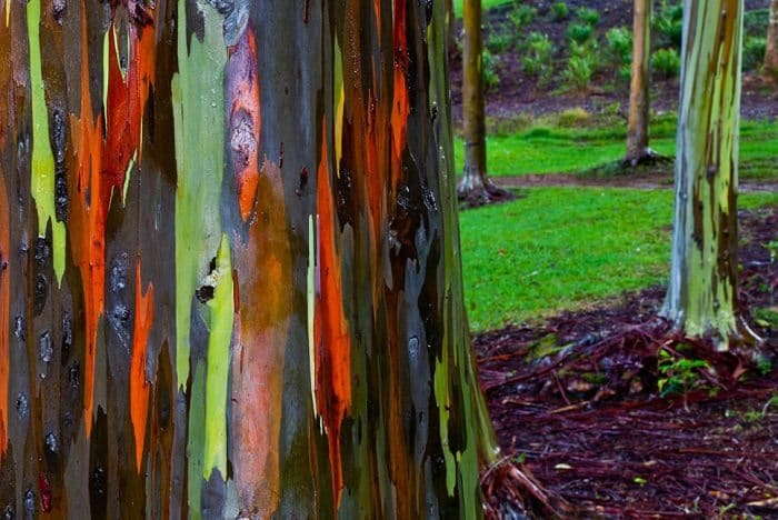 rainbow eucalyptus tree bark close up