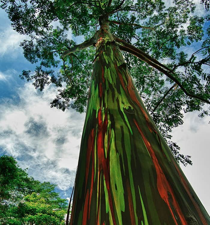 rainbow eucalyptus tree upwards view