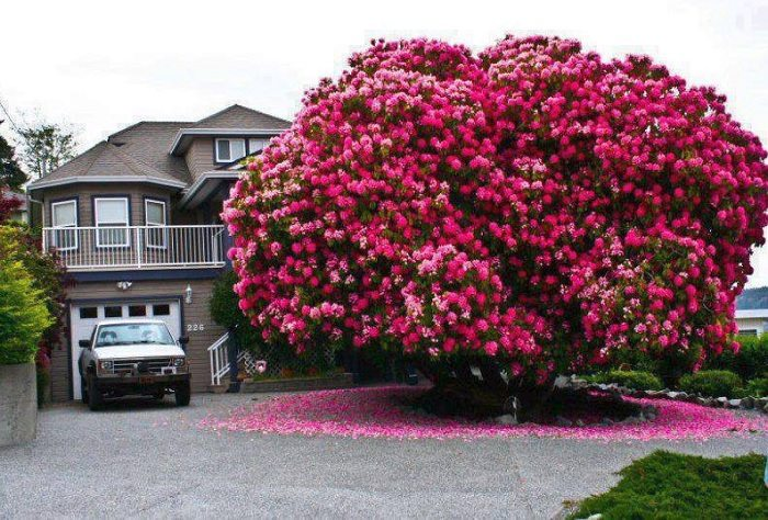 large pink Rhododrendon Tree outside house
