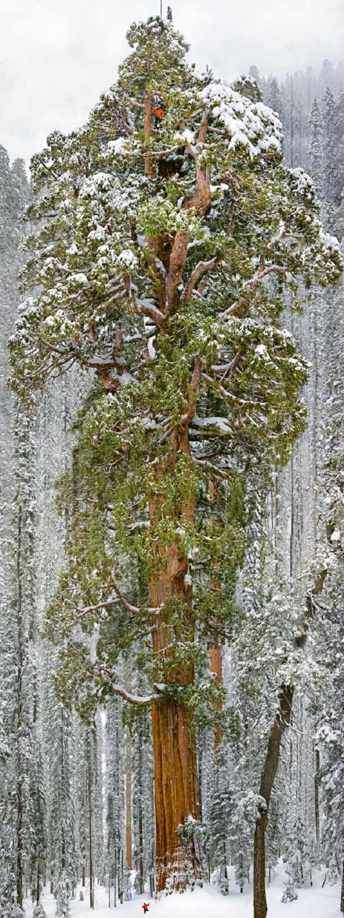 man at the top of very large seqoia tree in snowy conditions