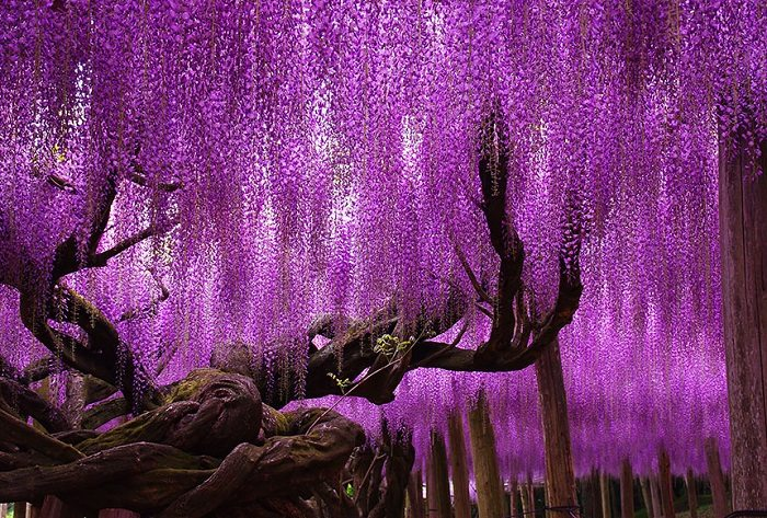 purple Wisteria beautiful trees