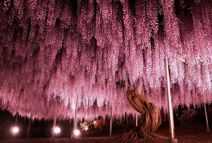 pink Wisteria Tree night time