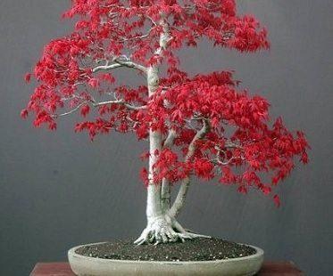 Red Maple Bonsai Kit