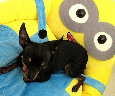minion pet bed despicable me dog