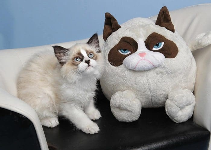 cat grumpy cat