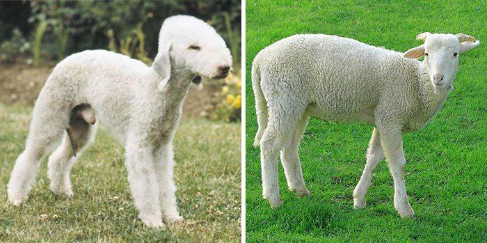 dog looks like a sheep