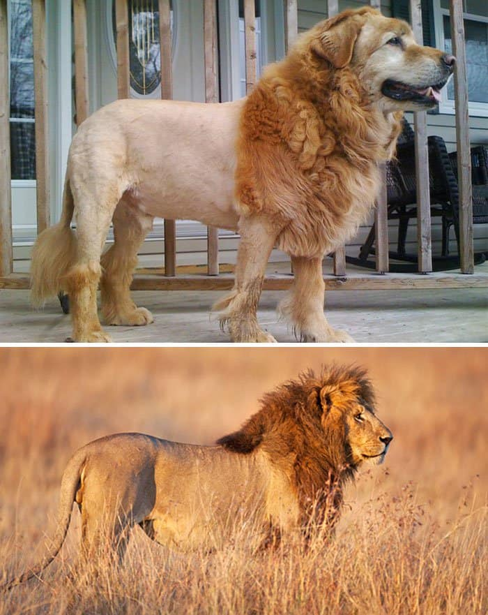 dog looks like lion