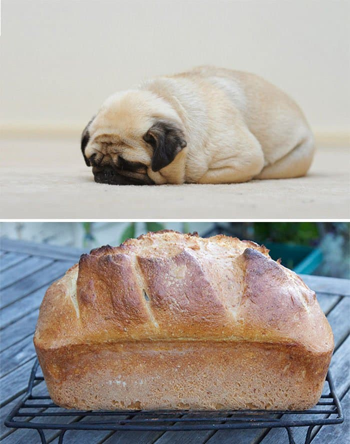 pug looks like bread loaf