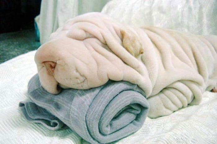shar pei towel dog lookalike