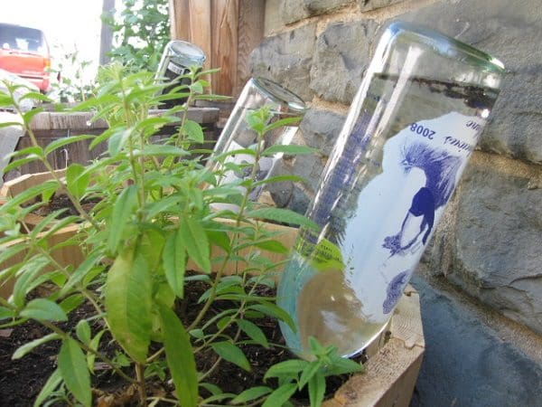 wine bottles water plants while on vacation