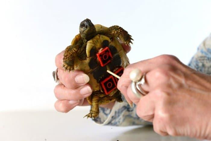 blades-tortoise
