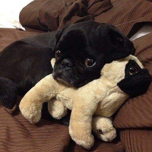 black dog toy dog
