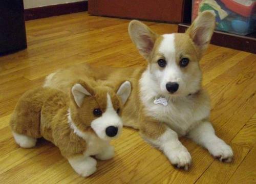 corgi dog with toy corgi
