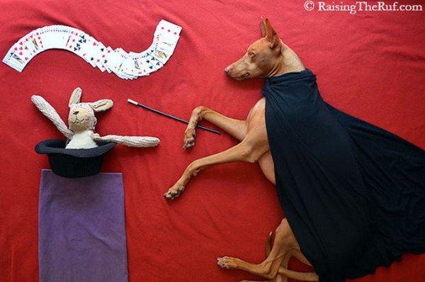 dog sleeping magician