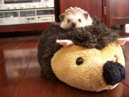 hedgehog on hedgehog pillow
