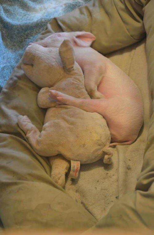 pig sleeping toy pig