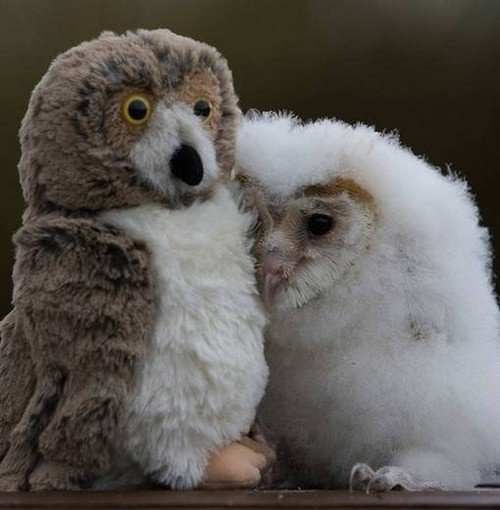 real owl toy owl