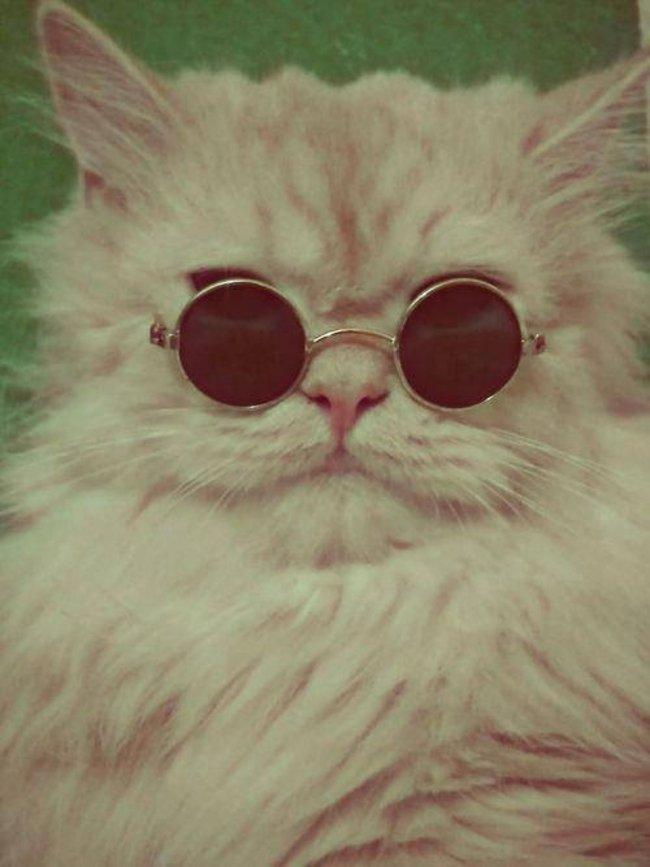 shades cat