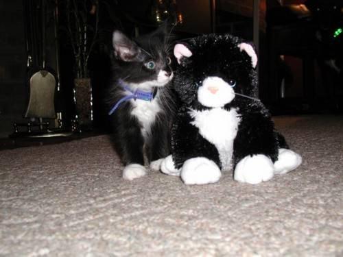 toy cat real cat