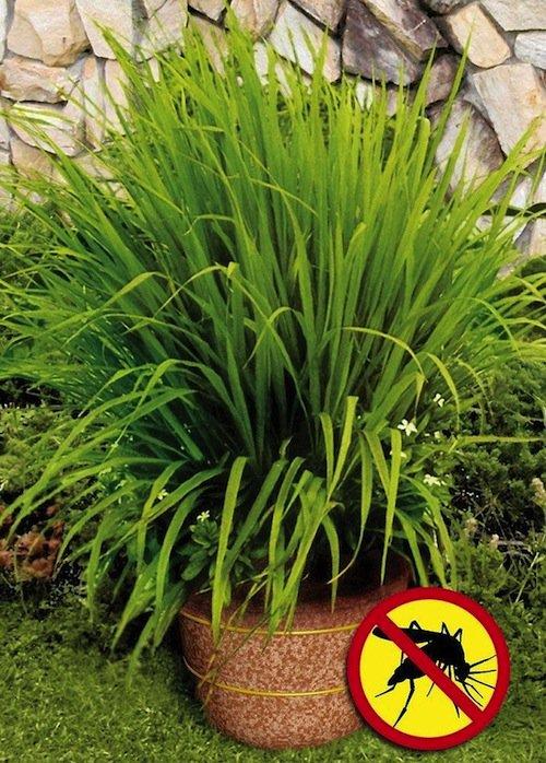 yard-lemongrass