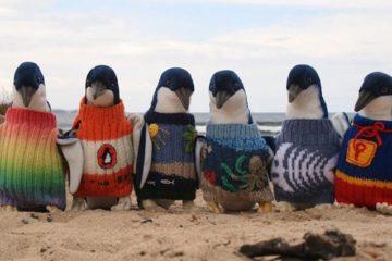 Australia's Oldest Man Knitting For Penguins