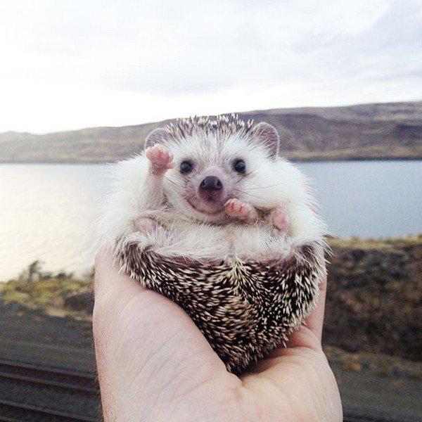 hedgehog countryside