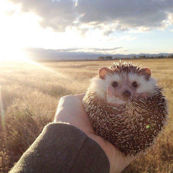 hedgehog field