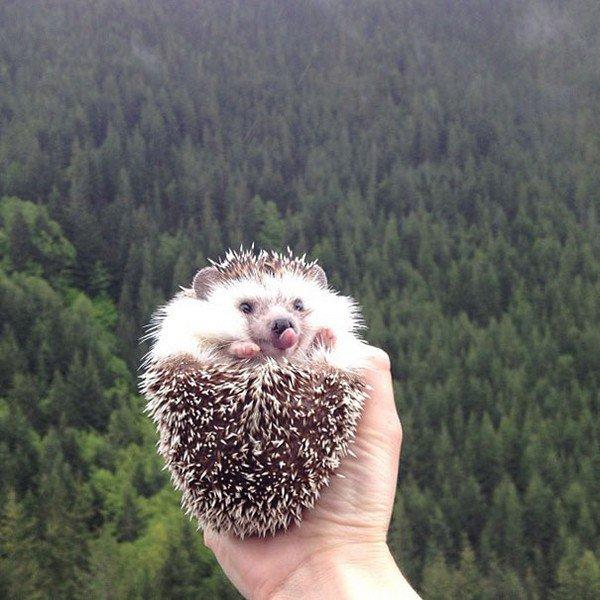 hedgehog forest