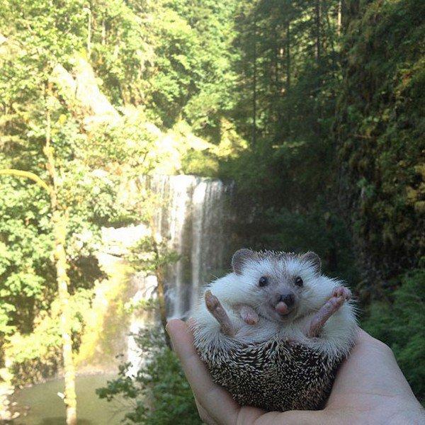 hedgehog legs out waterfall