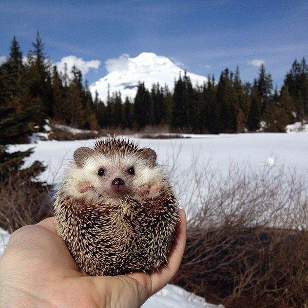 hedgehog mountains