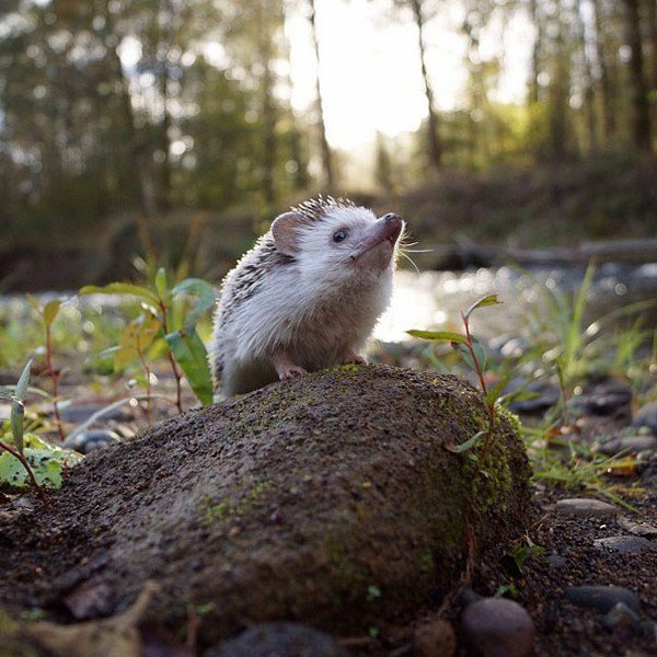 hedgehog stone