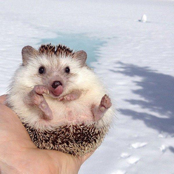 hedgehog tongue snow