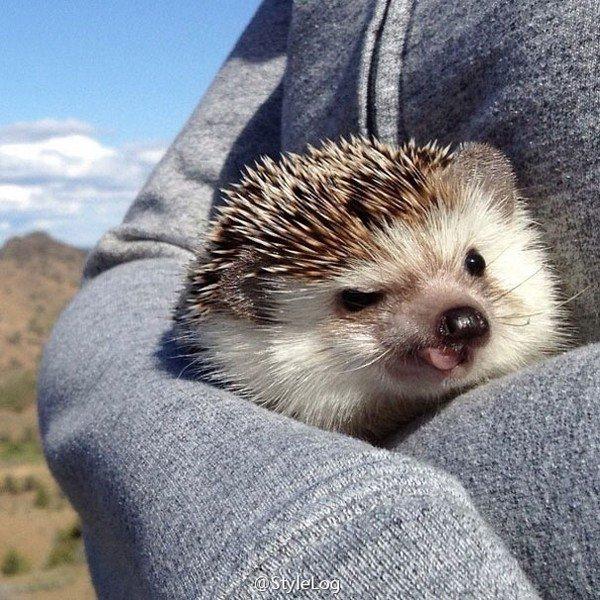 hedgehog tongue