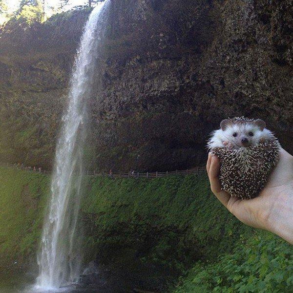 hedgehog water fall