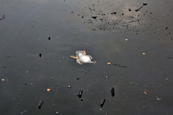 kind-duck