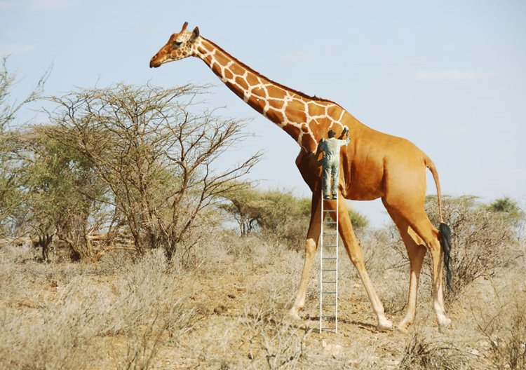 photo-manipulation-giraffe