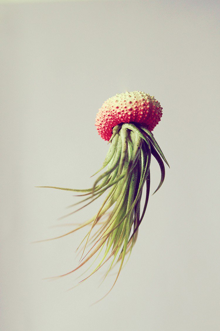 red full air plant jellyfish