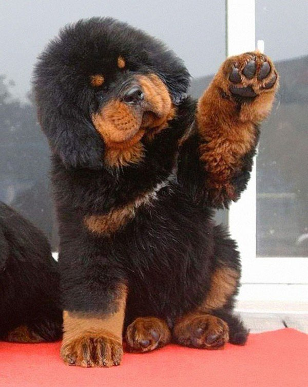 15 Super Cute Puppies That Could Be Mistaken For Teddy Bears
