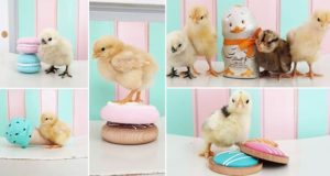 easter Baby Chicks