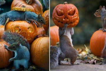 Pumpkin-Stealing Squirrel