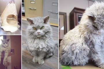 albert Selkirk Rex Sheep Cat