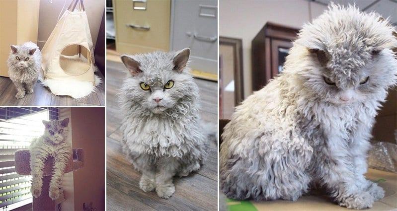 meet albert the sheeplike cat with an attitude