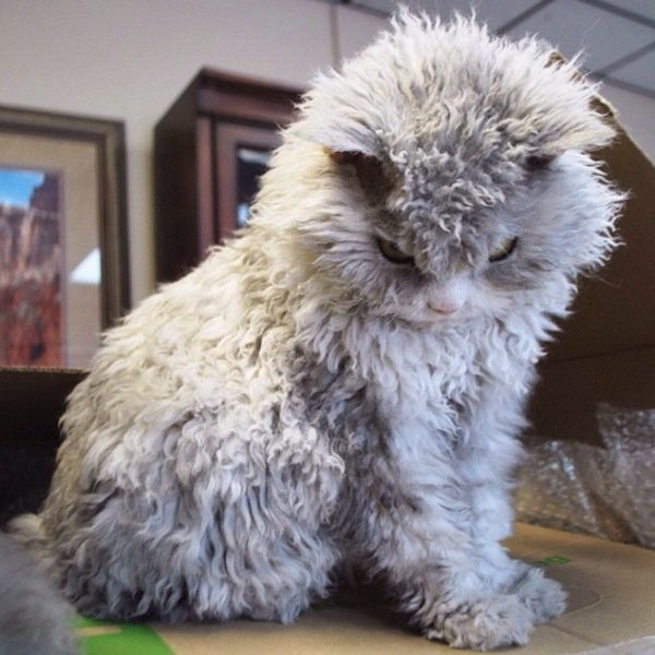 albert-fluffy