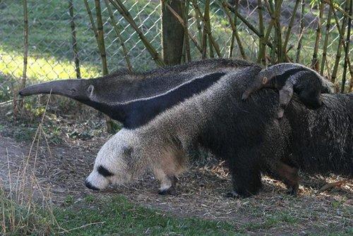 ant-eater-panda